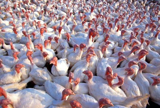 turkeys-139713_1280