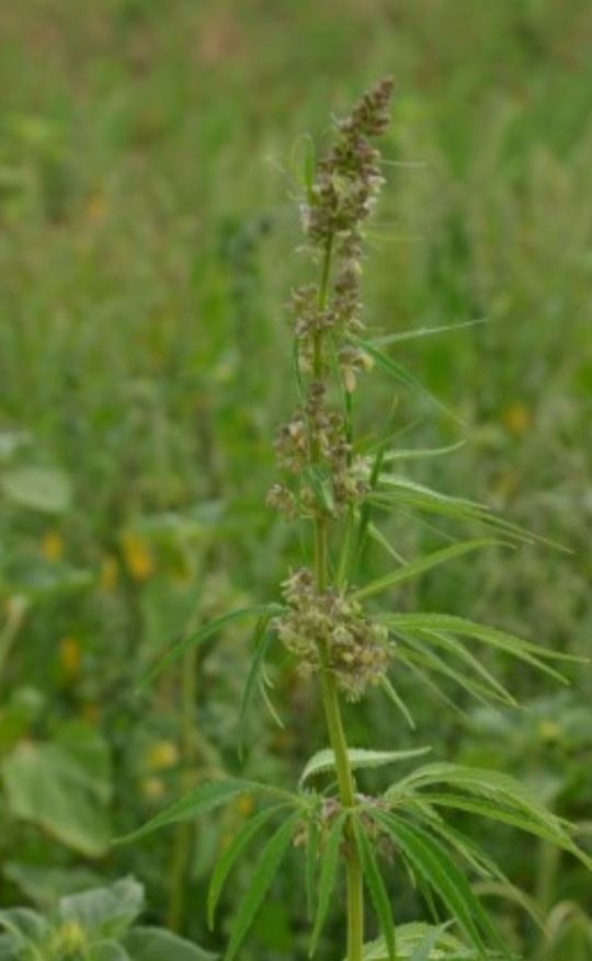 hanfpflanzen-auf-einem-sonnenblumenfeld-sichergestellt